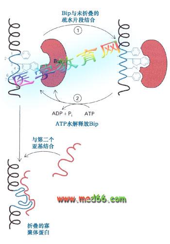 粗面内质网的功能——蛋白质转运〔细胞生物学〕