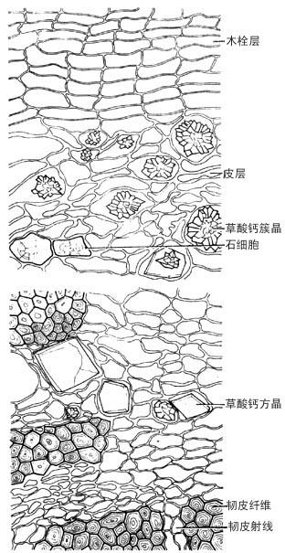 天然药物集——川桐皮:药材鉴别(显微鉴别)