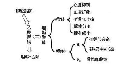 医疗招聘考试辅导之胆碱酯酶作用部位